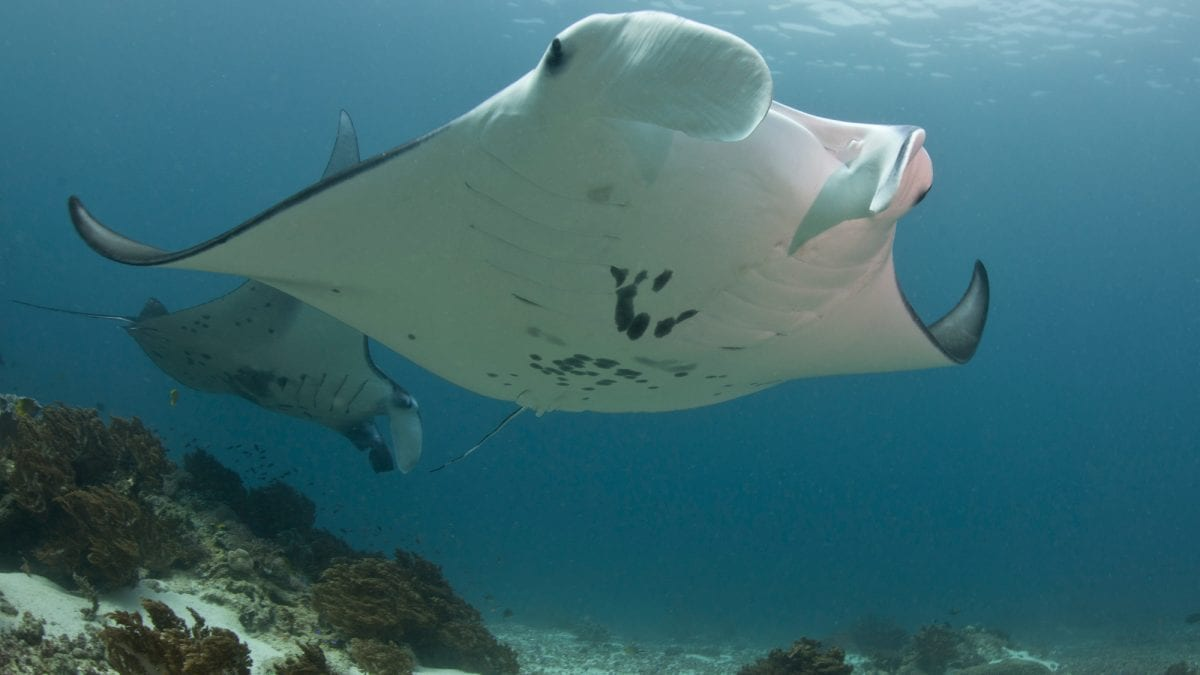 manta-rays-social-bonding-groups-indonesia-cleaning-sites-mantas