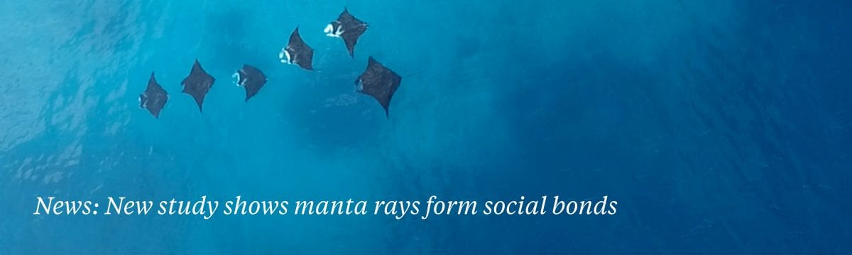 manta ray social bond marine biology study
