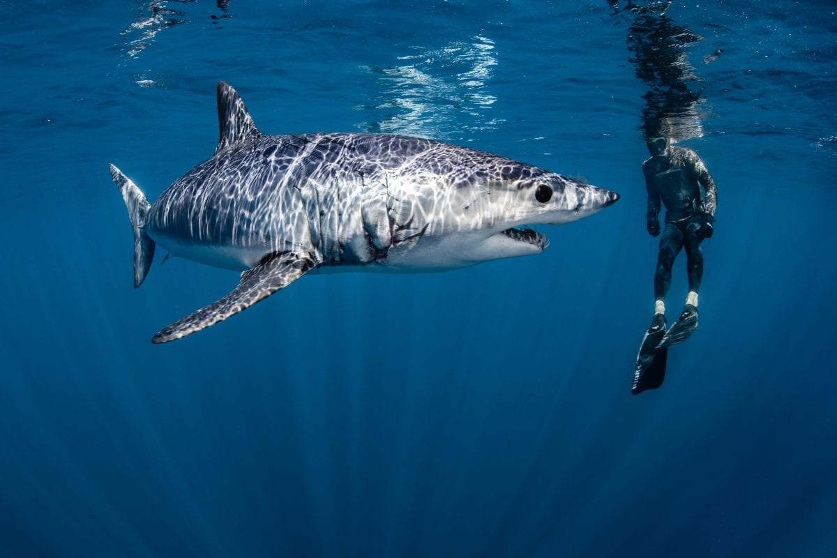 mako shark cites international protection appendix 2 endangered species shawn heinrichs