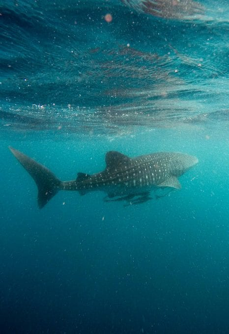 anouska freedman ningaloo reef whale shark jeremy bishop