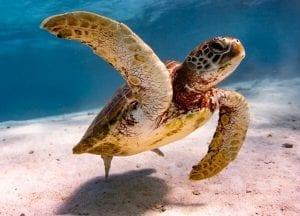 anouska freedman ningaloo reef turtle