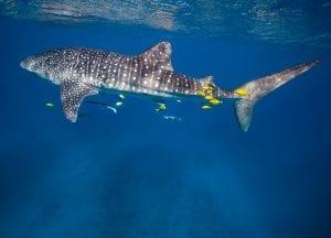 anouska freedman ningaloo reef whale sharks