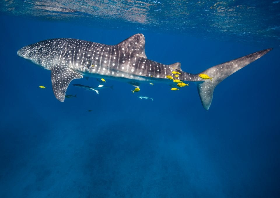 anouska freedman ningaloo reef whale sharks
