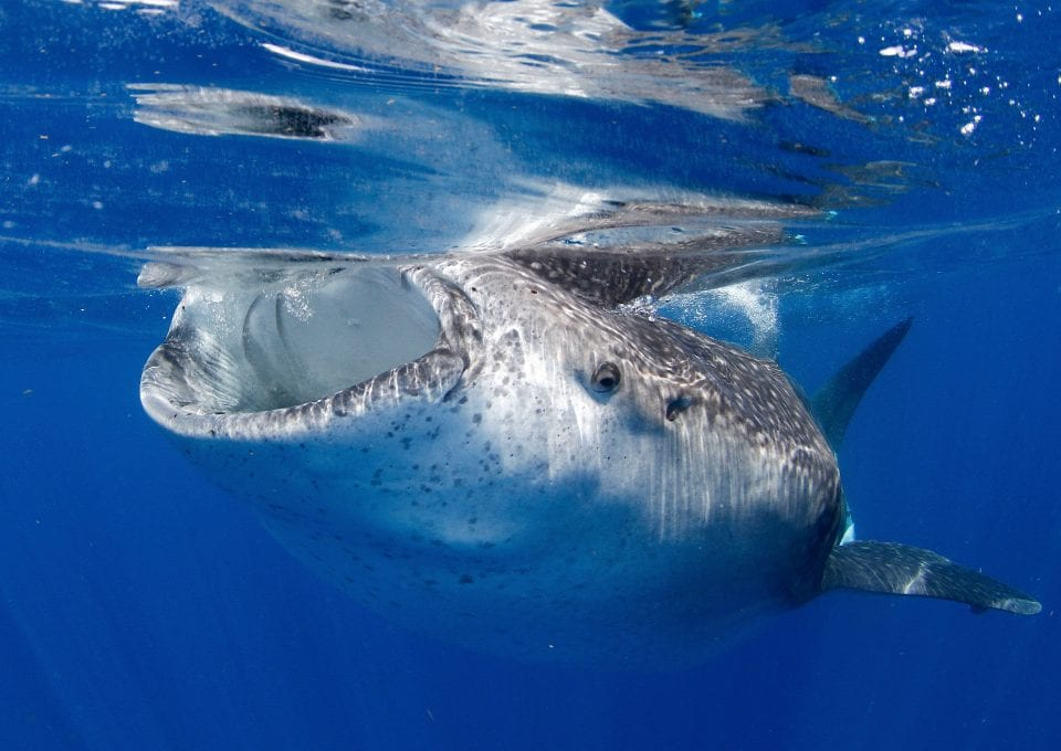 whale shark and ray marine conservation MarAlliance