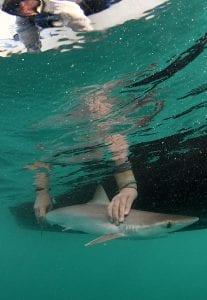 shark and ray marine conservation MarAlliance