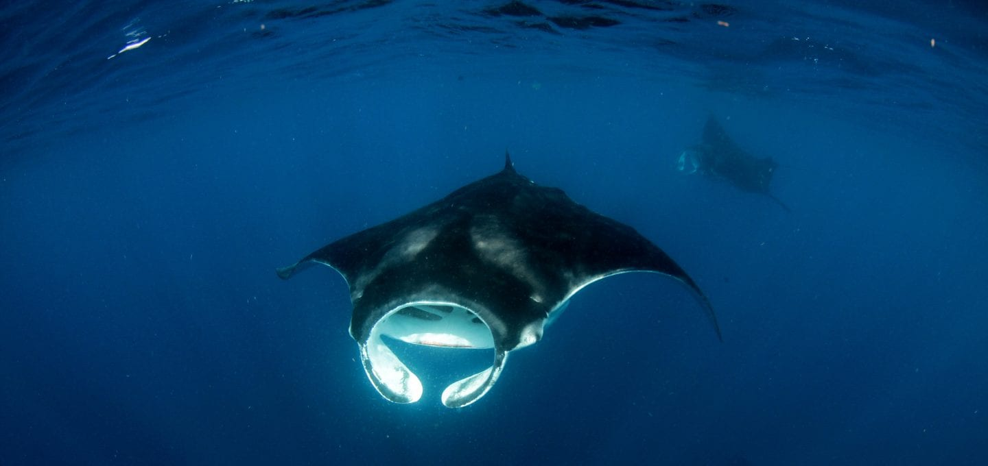 shark and ray marine conservation MarAlliance manta