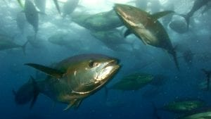 migratory tuna species pacific ocean marine protected area