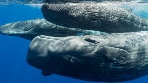 whales climate change carbon sequestration ocean conservation