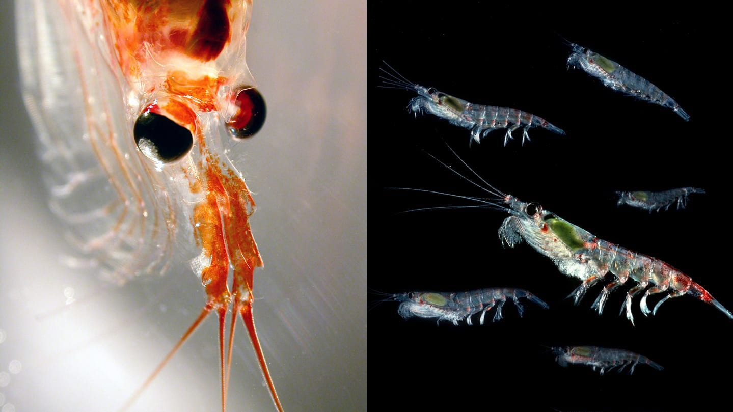Antarctic krill carbon capture