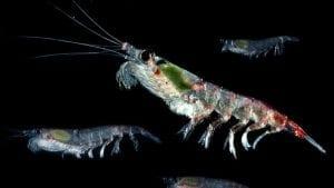 Antarctic krill carbon capture
