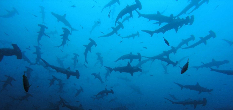 shark finning conservation Randall Arauz costa rica sharks
