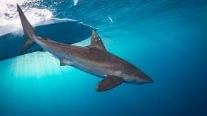 shark finning conservation Randall Arauz costa rica satellite