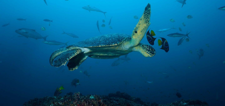 shark finning conservation Randall Arauz costa rica turtle