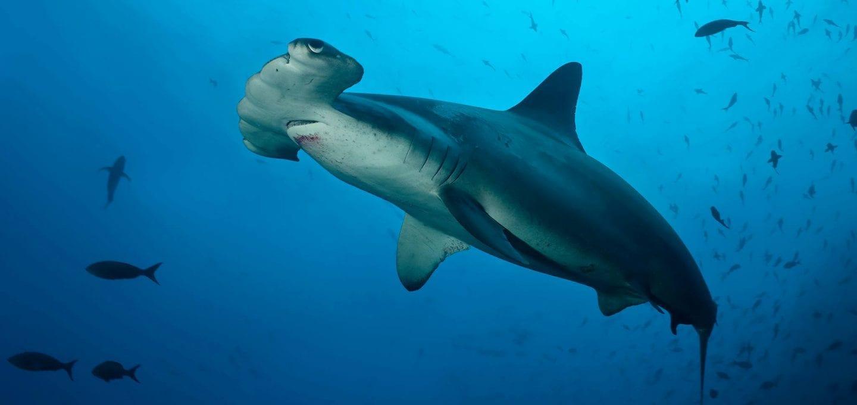 shark finning conservation Randall Arauz costa rica hammerhead