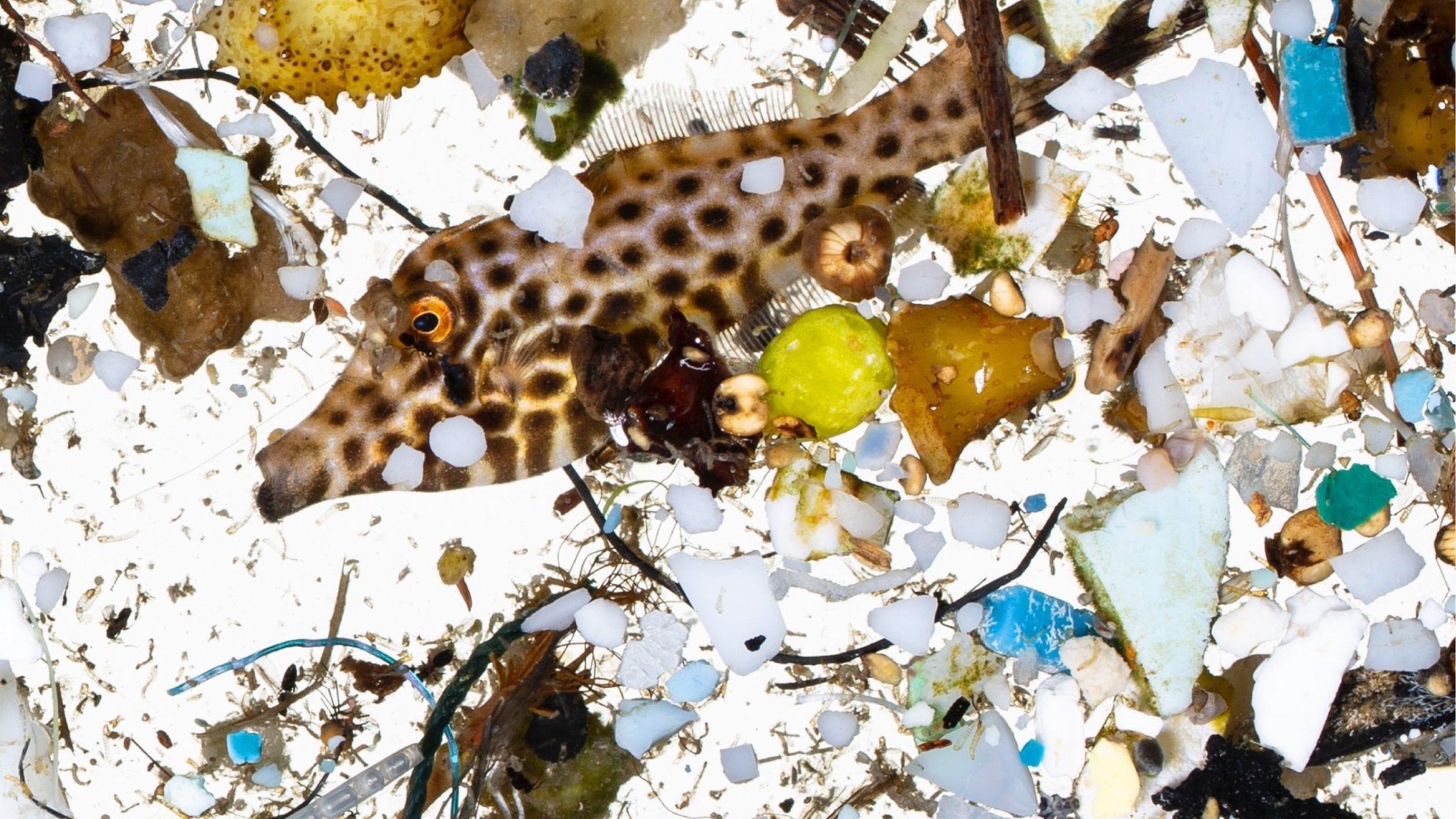 NOAA ocean plastic larval fish microplastics microfibres