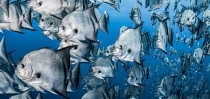 Tanya Houppermans spade fish