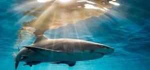 Tanya Houppermans lemon sharks