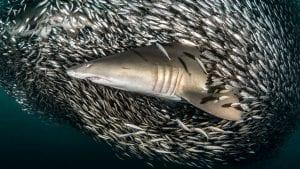 Tanya Houppermans sand tiger sharks