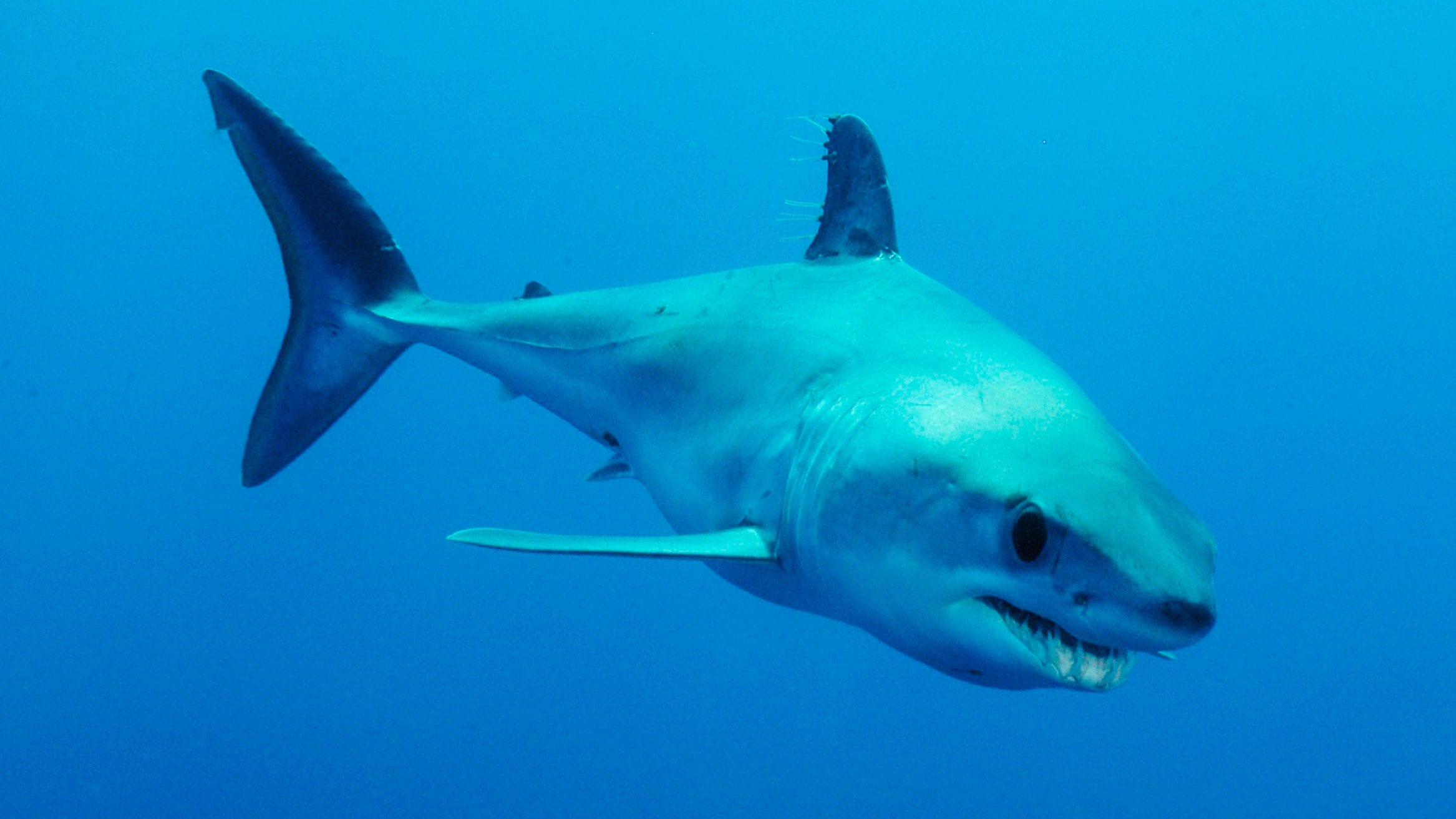 mako shark regulations ICCAT