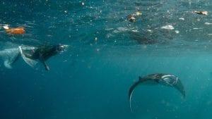 marine megafauna foundation microplastics manta Indonesia