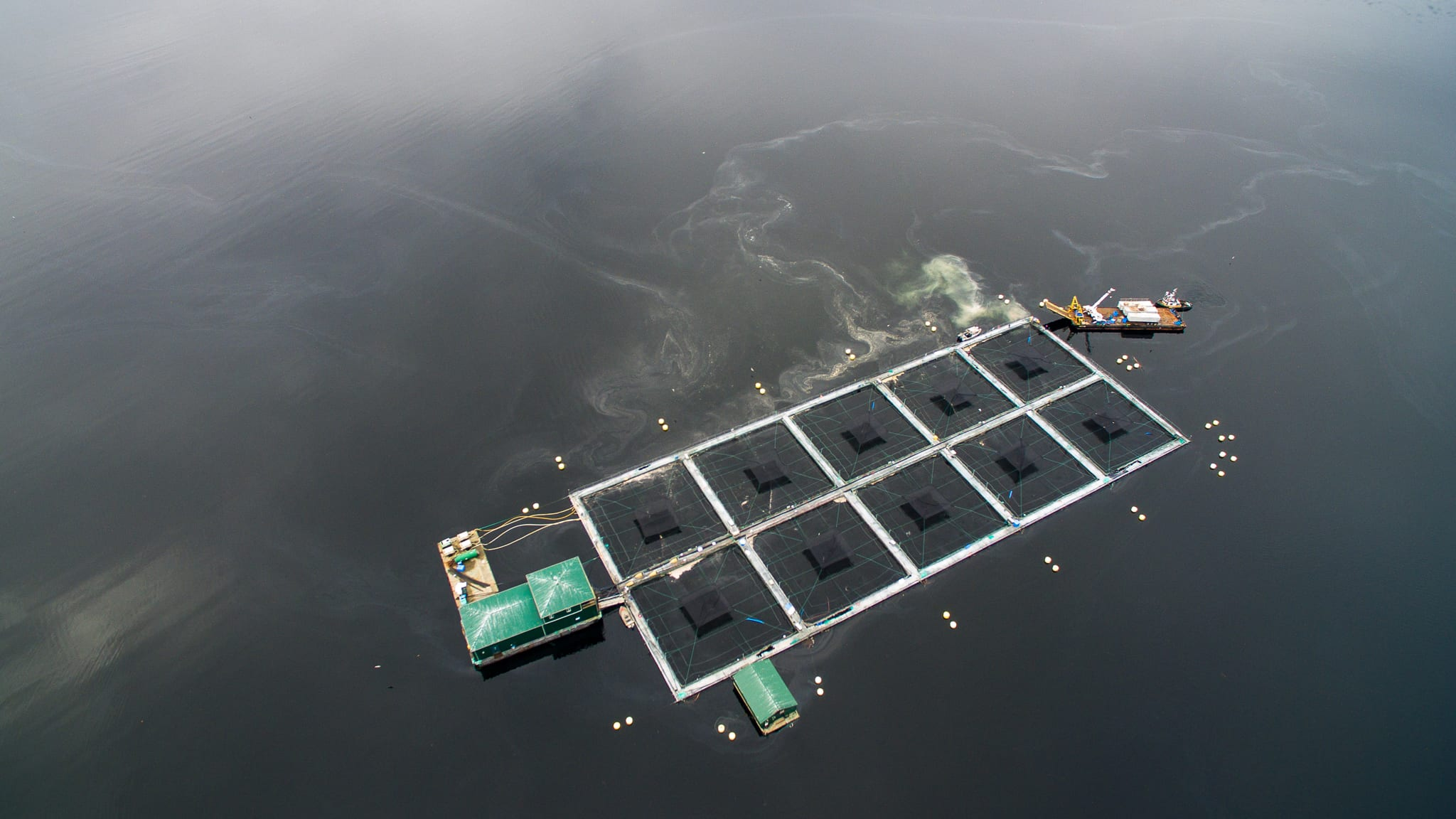 Clayoquot Sound salmon farm die-off
