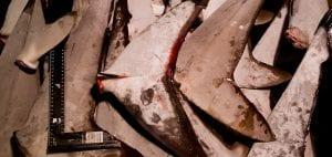shark finning industry conservation matt brierley illegal shark fins trade