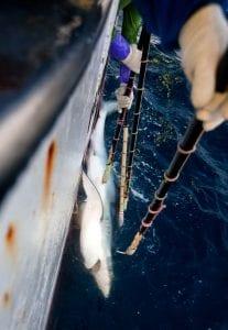 shark finning industry conservation matt brierley shark fishing