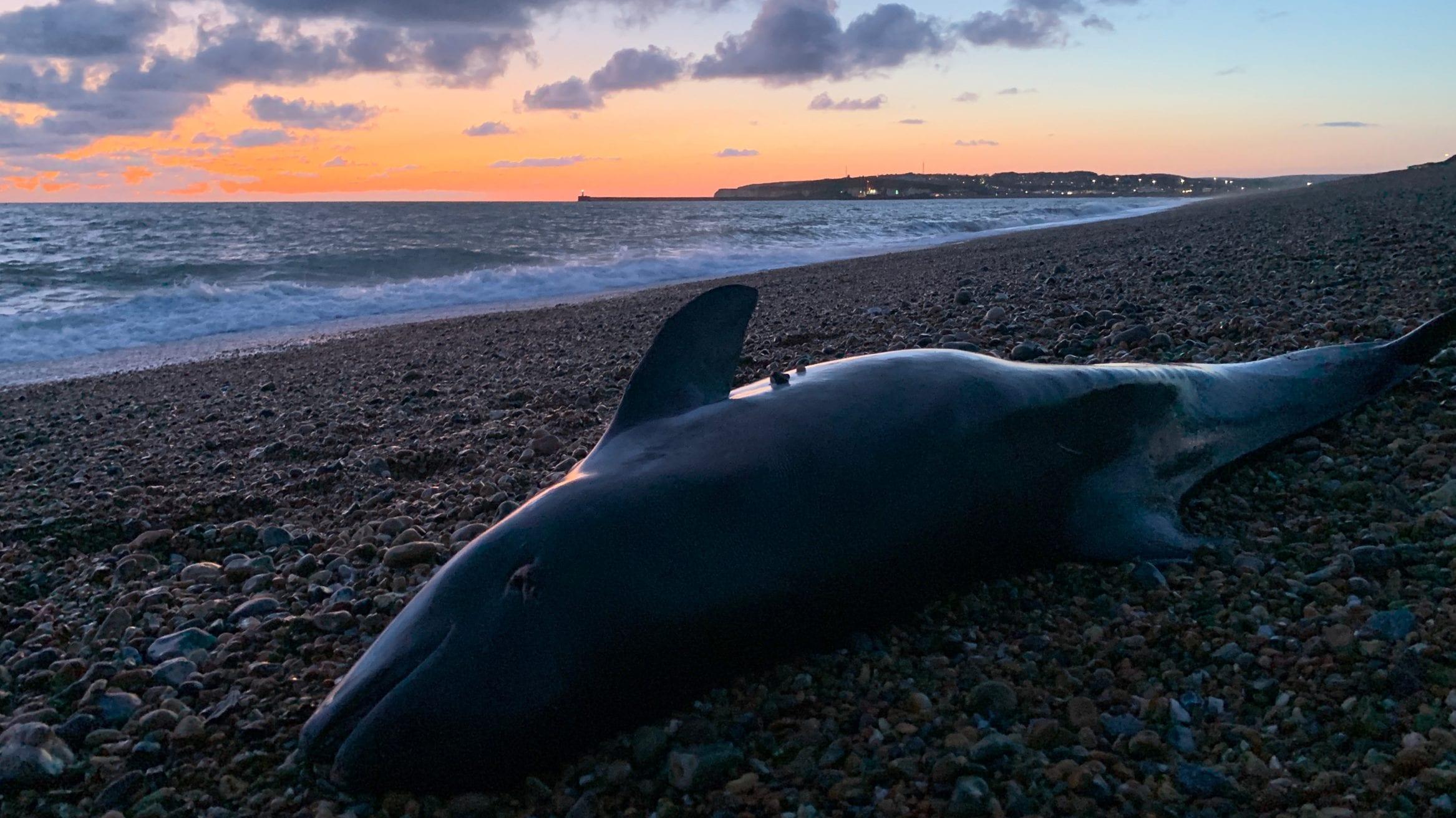 harbour porpoises UK