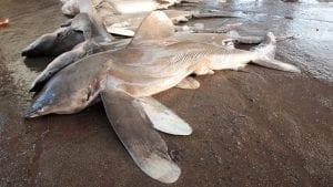 oceanic whitetip shark wwf
