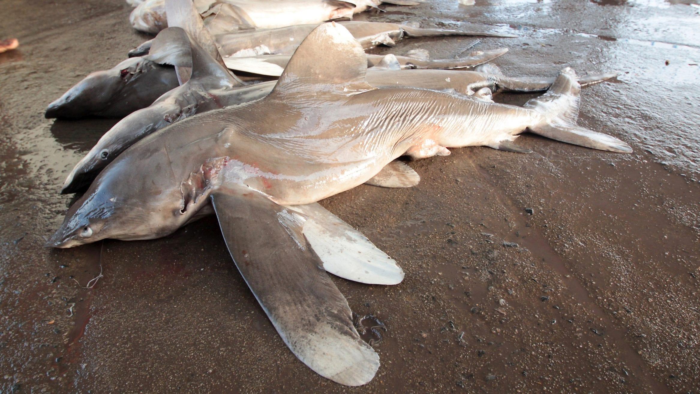 Requin océanique du WWF