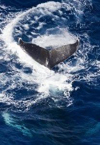 Global Oceans Treaty Greenpeace Ocean whale fluke