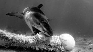 tiger sharks exmouth gulf