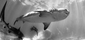 tiger sharks exmouth gulf