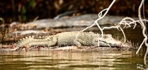 essequibo river caiman