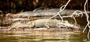 essequibo river caiman