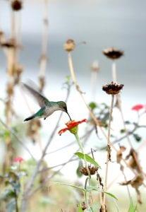 Essequibo river hummingbird