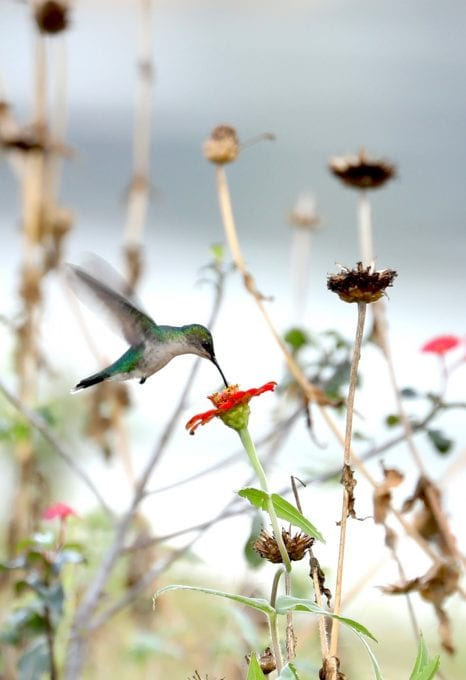 Essequibo river hummingbird