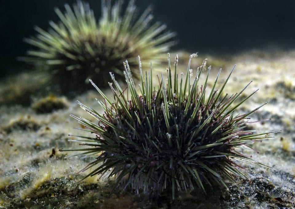 scuba diving canada urchin new bunswick