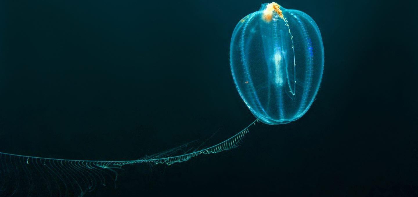 scuba diving canada nova scotia comb jelly