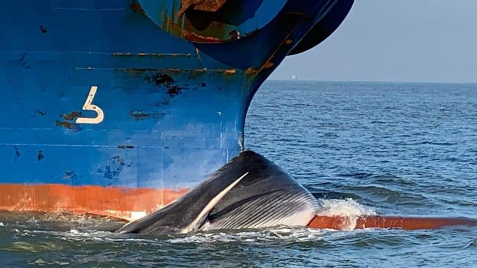 fin whale ship strike