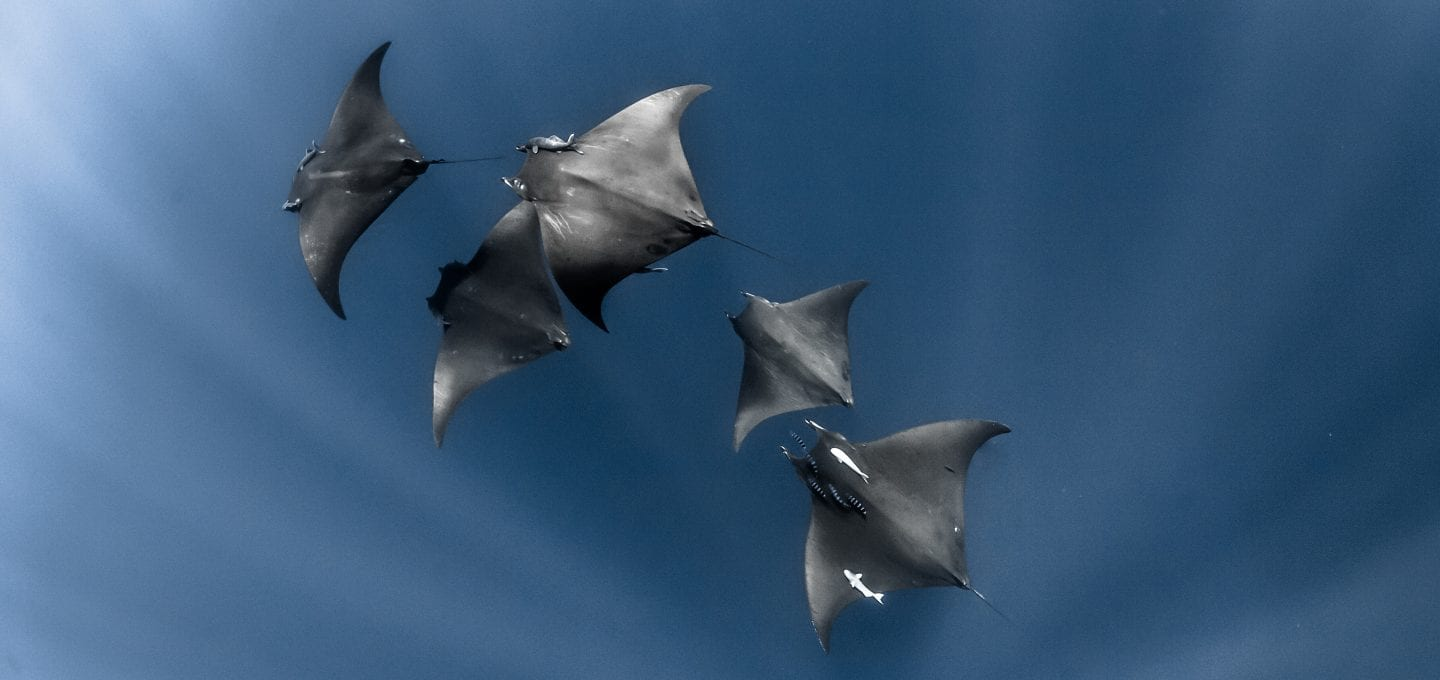 Fred Buyle freediving underwater photography manta rays