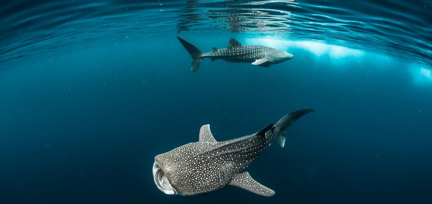 Fred Buyle freediving underwater photography whale sharks