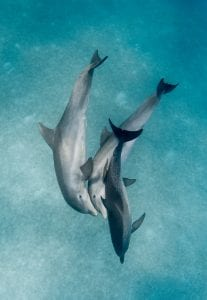 Wild Dolphin Project bahama dolphins pod playng