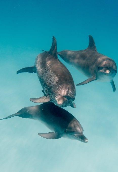 Wild Dolphin Project bahama dolphins pod trio