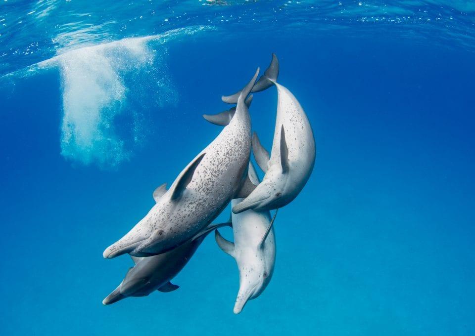 Wild Dolphin Project bahama dolphins pod