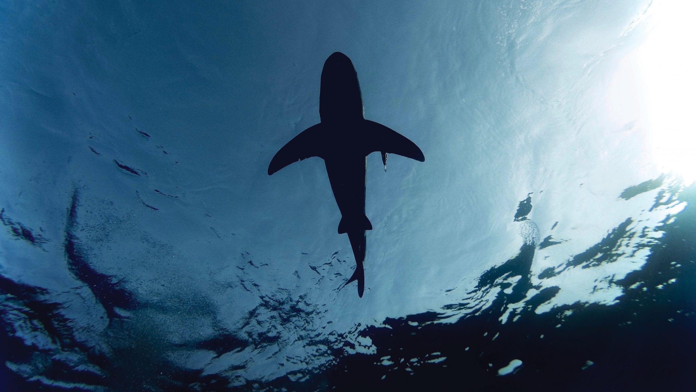 oceanic whitetip shark finning MCS