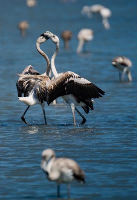 Lefkada Lagoon Flamingos young Chris Stavrakas