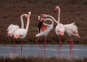 Lefkada Lagoon Flamingos Chris Stavrakas