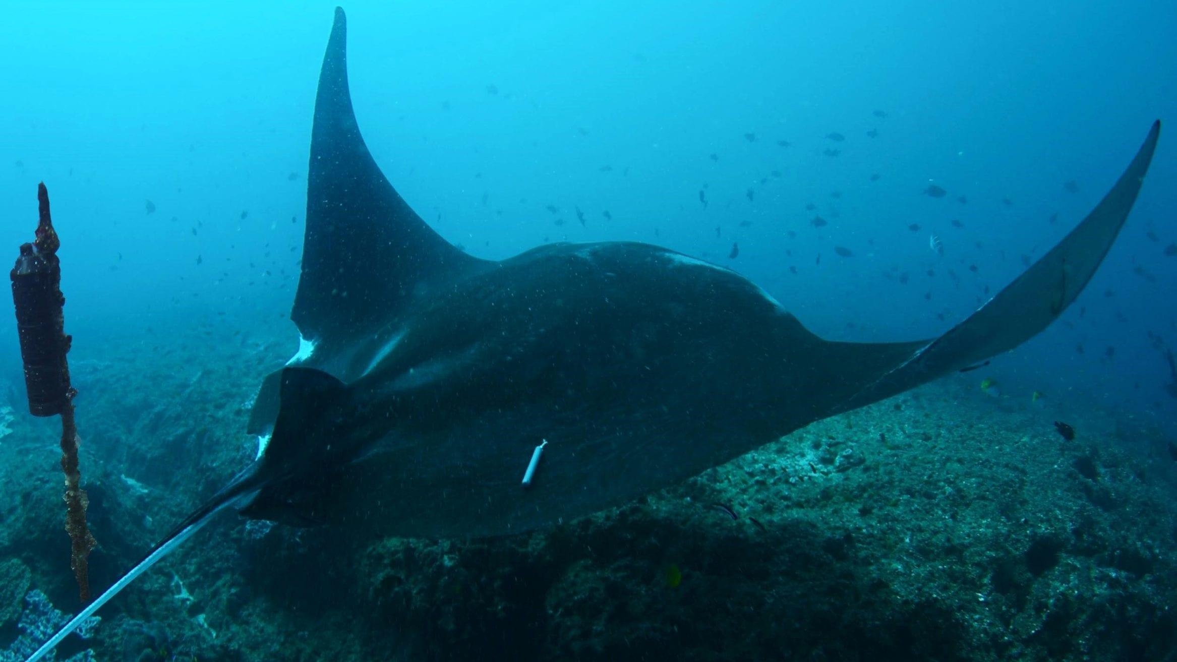 manta rays listening station