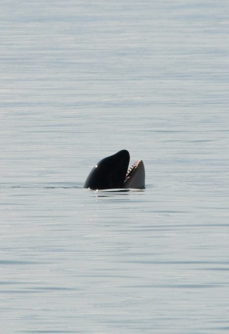 Southern Resident Killer Whales Salish Sea